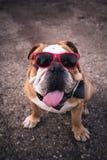 Adult English bulldog Royalty Free Stock Image