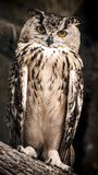The adult Eurasian eagle owl sits on a tree branch stock photography