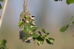 An adult Eurasian penduline tit Remiz pendulinus calling for an female out of its nest what he is making at the lakes of Linum. An adult Eurasian penduline tit stock images
