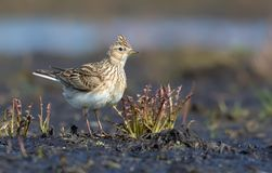 Adult Eurasian skylark posing in open space with some short grass and plants stock photography