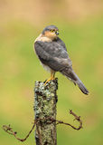 Adult Eurasian Sparrowhawk (Accipiter nisus) perching on a post Stock Image