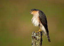 Adult Eurasian Sparrowhawk Accipiter nisus Stock Photo