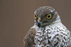 An adult Eurasian sparrowhawk Accipiter nisus rescued and held to let go at a wildlife rescue center. A portrait of an adult Eurasian sparrowhawk Accipiter stock photography