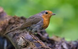 Adult European robin stands on a lichen trunk royalty free stock photos