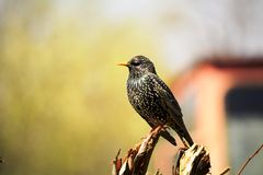 Adult European Starlings Royalty Free Stock Image
