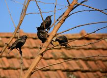 Adult European Starlings Royalty Free Stock Photography
