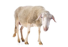 Adult ewe. In front of white background royalty free stock images
