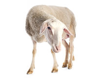 Adult ewe. In front of white background royalty free stock image