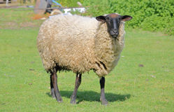 Adult Ewe in Pasture. A large female lamb or Ewe stands in her pasture stock photos