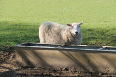Adult Ewe Sheep. An Adult Ewe Sheep at an Agricultural Water Trough royalty free stock photos