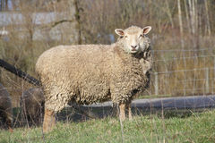 Adult Ewe. An adult Ewe standing profile with a heavy winter coat stock image