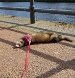 Adult fable hon ferret by River Nith Dumfriess. Exploring Dumfries and Galloway royalty free stock photos