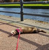 Adult fable hon ferret by River Nith Dumfriess. Exploring Dumfries and Galloway stock photos