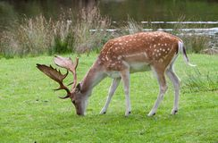 Adult Fallow Deer Buck Royalty Free Stock Photos
