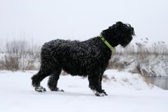 Adult fat Giant Schnauzer dog barks, standing on the banks of the river. By the river there is a steep bank. Winter, all covered. With snow. On the dog a lime stock photo