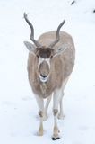 Addax  standing in snow Royalty Free Stock Images