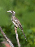 Adult Female African Grey Hornbill