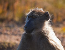 Adult female baboon looks away. Female baboon. Adult female baboon looks away. Wild African monkey at the Cape of Good Hope. South Africa stock photography