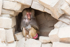 Adult female baboon resting Royalty Free Stock Photography