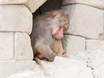 Adult female baboon sleeping Stock Images