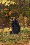 Adult Female Black Bear (Ursus americanus) Branch Mouthful Stock Image