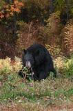 Adult Female Black Bear (Ursus americanus) Chews on Shrub Royalty Free Stock Image