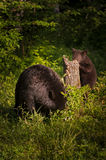 Adult Female Black Bear Ursus americanus and Cub Forage Royalty Free Stock Image