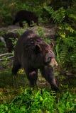 Adult Female Black Bear Ursus americanus Cubs in Background. Captive animals Stock Photos