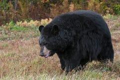 Adult Female Black Bear (Ursus americanus) In Field Royalty Free Stock Image