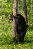 Adult Female Black Bear (Ursus americanus) Holds on to Tree Stock Photography
