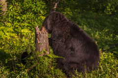 Adult Female Black Bear Ursus americanus Nose in Stump. Captive animal Stock Images