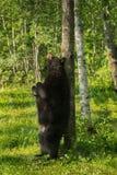 Adult Female Black Bear (Ursus americanus) Scratches Back on Tre Stock Photos