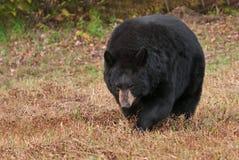 Adult Female Black Bear (Ursus americanus) Stalks Forward Stock Image