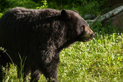 Adult Female Black Bear (Ursus americanus) Stands in Early Morni Stock Images