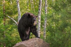 Adult Female Black Bear Ursus americanus Stands on Rock Lookin. G Right - captive animal royalty free stock image