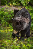 Adult Female Black Bear Ursus americanus Turns Stock Photo