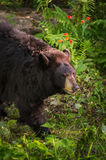 Adult Female Black Bear Ursus americanus Walks Past. Captive animal Stock Photos