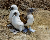 Adult female blue footed booby with two chicks