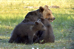 Adult female of Brown Bear (Ursus arctos) with cubs on the swamp  in summer forest. Stock Photo