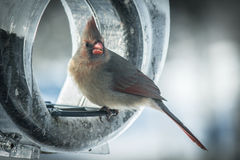 Adult female cardinal on feeder Royalty Free Stock Photography