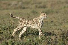Adult Female Cheetah (Acinonyx jubatus) Tanzania Stock Photography