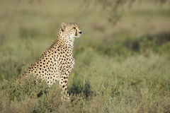 Adult Female Cheetah (Acinonyx jubatus) Tanzania Stock Photos
