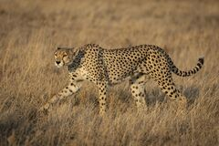 Full Body Side View Portrait Of An Adult Female Cheetah With Beautiful Eyes Walking In The Grassy Plains Of Serengeti In Tanzania Stock Photo Image Of Background Park 194048624