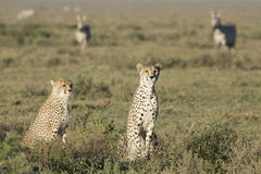 Adult Female Cheetah with cub (Acinonyx jubatus) Tanzania Stock Photo