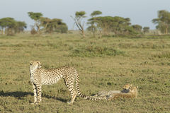 Adult Female Cheetah with her two cubs (Acinonyx jubatus) Tanzan Royalty Free Stock Image
