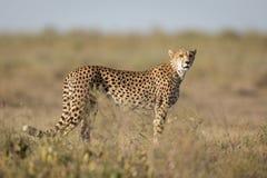 Adult female Cheetah, Ndutu, Serengeti, Tanzania. Adult female Cheetah, Ndutu, Serengeti National Park, Tanzania Royalty Free Stock Image