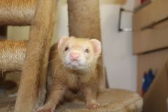 Adult female cinnamon coloured jill ferret Stock Photography