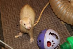 Adult female cinnamon coloured jill ferret playing Stock Photography