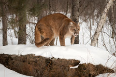 Adult Female Cougar Puma concolor Crouches on Rock Stock Photos