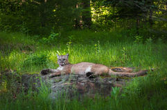 Adult Female Cougar Puma concolor Lies on Rock Tongue Out Stock Photos